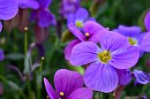 picture of stamen  - Purple flower close up purple petals yellow pestle and stamens - JPG
