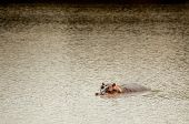 picture of saharan  - A hippopotamus lies in the water of a lake with most of it - JPG