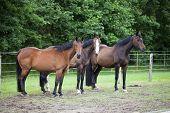 image of brown horse  - three brown Holsteiner Warmblood horses standing in a pasture - JPG