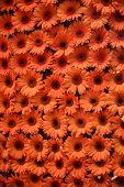 picture of angiosperms  - Beautiful arrangement of orange daisies in bright orange - JPG