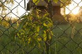 stock photo of creeping  - wallpaper of woodbine creeping on metal mesh fence during sunset - JPG