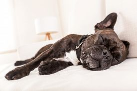 picture of bulldog  - french bulldog dog having a sleeping and relaxing a siesta in living room - JPG