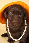 picture of chocolate lab  - Chocolate lab puppy dressed up in pearls and hat - JPG