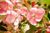 Beautiful Cherry Blossom Springtime Sunny Day Garden Landscape. Blossoming Pink Petals Fruit Tree Br poster