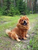 Chow Chow In The Forest poster