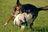 Dogs Play With Each Other. Young Pug-dog. Merry Fuss Puppies. Aggressive Dog Attac. Training Of Dogs poster