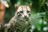 foto of ocelot  - Ocelot in the nocturnal house at the Seattle Woodland Park Zoo