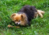 Cute Dog With A Bone Sitting On Green Grass In A Meadow. Funny Little Companion Dog Pomeranian Pom B poster