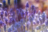 Beautiful Violet Flowers.little Summer Flower. Flowers In The Garden At Springtime. Little Purple Fl poster