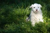 pic of laika  - Portrait of yakutian laika puppy on the grass - JPG