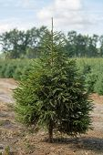 Plantatnion Of Young Green Fir Christmas Trees, Nordmann Fir And Another Fir Plants Cultivation, Rea poster