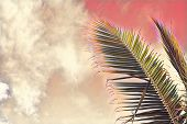 Coco Palm Tree Leaf On Sky Background. Pink Toned Palm Leaf On Sunset Sky. Tropical Vacation Digital poster