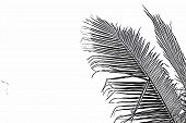 Coco Palm Leaf On White Background. Sketch Of Palm Leaf. Tropical Vacation Black And White Digital I poster