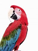 picture of polly  - Green Wing Macaw giving a head twist on an isolated white background - JPG