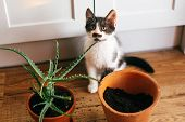 Kitty With Innocent Eyes Sitting At Flipped Pot And Aloe Vera Indoors. Care Of Plants. Succulent On  poster