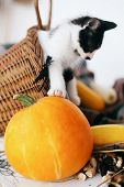 Cute Little Kitty Sitting In Wicker Basket With Pumpkin, Zucchini And Herbs In Evening Light On Wood poster