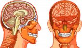stock photo of frontal lobe  - Vector medical illustration of Human Brain cross - JPG