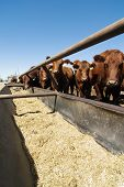 image of feedlot  - feeding bunks on a farm in saskatchewan - JPG