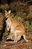 Agile Wallaby And Baby