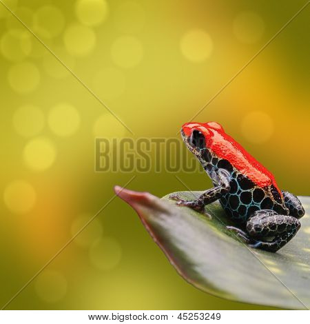 poster of red poison dart frog Ranitomeya reticulata from tropical Amazon rain forest of Peru. Beautiful exotic amphibian often kept as exotic pet. Vibrant nature background with copy space