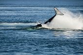 stock photo of cetacea  - Killer whale - JPG