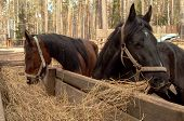 picture of horses eating  - two beautiful horses - JPG