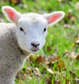 stock photo of spring lambs  - A newborn baby spring lamb looking at the camera curiously - JPG