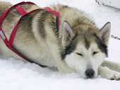 foto of sled dog  - Alaskan Husky Sled Dog resting in the snow - JPG
