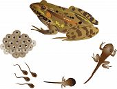 stock photo of tadpole  - It is illustration fo life cycle of frog - JPG