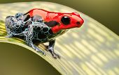 red poison arrow frog, beautiful macro of a tropical animal living in the Amazon rainforest of Peru.