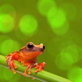 picture of exotic frog  - red tree frog climbing in tropical Amazon rain forest - JPG