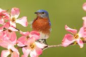pic of dogwood  - Male Eastern Bluebird  - JPG