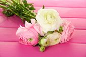 Ranunculus (persian buttercups), on pink wooden background