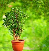 Beautiful Crassula Tree, On Colorful Background