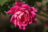 stock photo of knockout  - A Red Knock Out Rose Blossom sparkles after an early morning rain shower - JPG