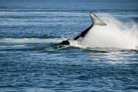 picture of cetacea  - Killer whale - JPG