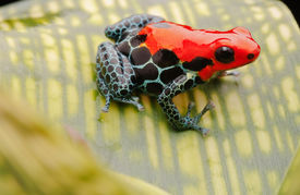 stock photo of poison arrow frog  - tropical pet frog - JPG