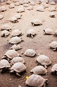 stock photo of tortoise  - Babies of Galapagos giant tortoises largest living species of tortoise - JPG