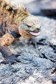 Portrait of male marine iguana, endemic of Galapagos islands, Ecuador