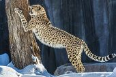 image of cheetah  - Adult cheetah scratching the tree standing up - JPG