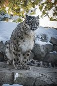 picture of snow-leopard  - Beautiful snow leopard in the snow covered mountains - JPG