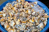 stock photo of babylon  - Fresh Spotted babylon snail in market ready for sale and use for ingredient - JPG