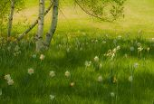 stock photo of daffodils  - Originally a photo I took that I applied an oil paint filter to - JPG