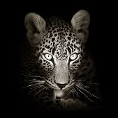 image of stare  - Leopard face close - JPG