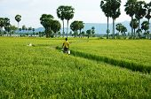 Farmer Walking On  Green Rice Field