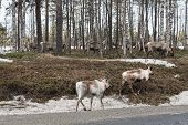 stock photo of wander  - Reindeer wandering back to their summer habitat in the late winter - JPG