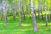 stock photo of birchwood  - Birchwood in the spring near Vinnitsa in Ukraine - JPG