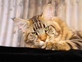 Purebred Cat poster