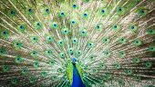 picture of indian peafowl  - Splendid peacock with feathers out  - JPG