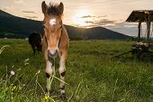image of colt  - Colt with a setting sun in the background - JPG